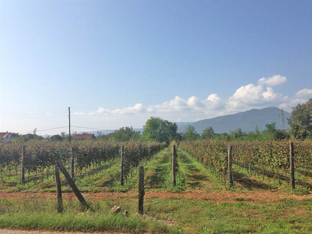 Danilovgrad, Bjelopavlići- Vinograd sa 4,000 čokota, 10.000m2